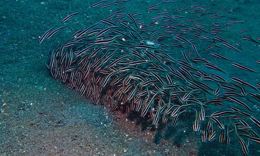 Το εξαιρετικά επικίνδυνο ψάρι Plotosus lineatus απειλεί τις ελληνικές θάλασσες.