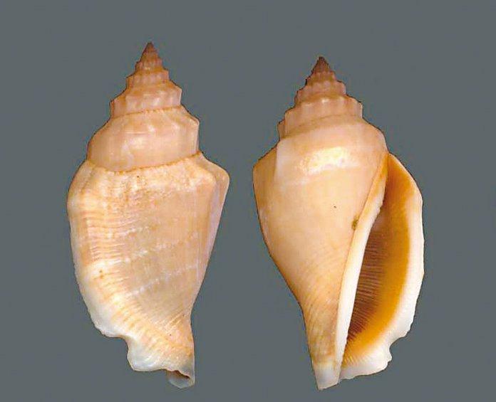 Το κοχύλι Conomyrex persicus αφθονεί στις ελληνικές θάλασσες και το σερβίρουν ως εκλεκτό έδεσμα σε εστιατόρια στη Ρόδο.